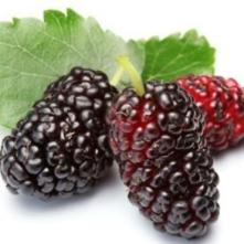 mulberry-4e898e1cae08a